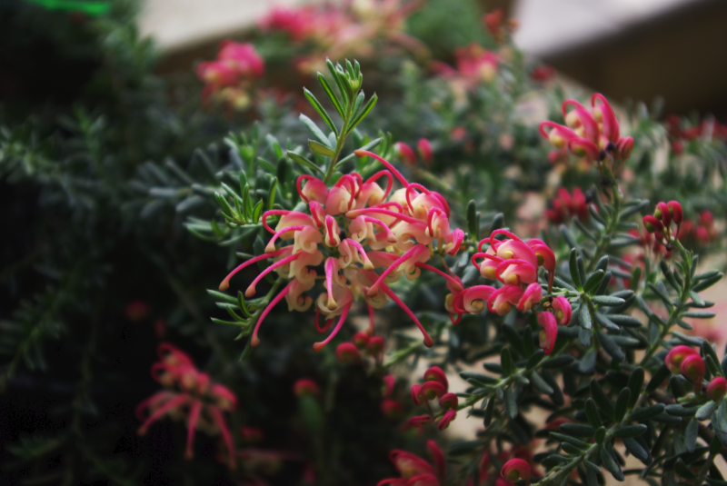 grevillea_winter_delight.png