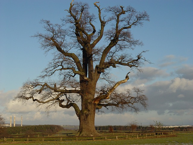 oak-tree Original.jpg